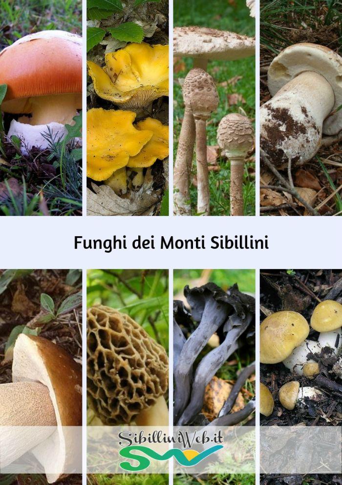 Funghi dei Monti Sibillini